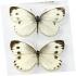 پروانه سفید کلم